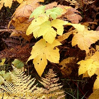 Autumnal Thimbleberry and Bracken