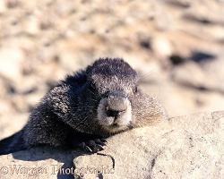 Marmot lounging on a rock