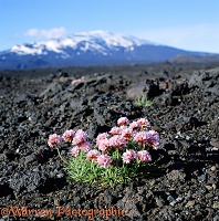 Thrift and Mt. Hekla