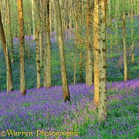 Bluebell woods 3D1 R