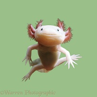 Axolotl on green background