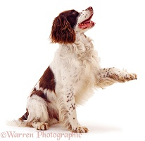 English Springer Spaniel with paw up