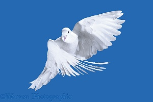 White Pigeon in flight