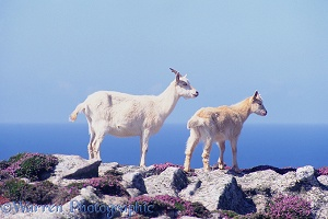 Goats on Lundy