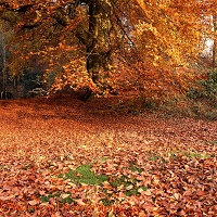 Beech woodland in Autumn