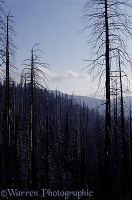 Burnt trees in Yosemite