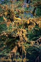Hanging mosses
