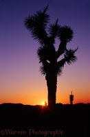 Small Joshua tree at sunrise