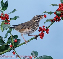 Redwing with holly berries