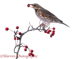 Redwing and hawthorn