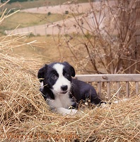 Hay-making spirit 1 - puppy lying down