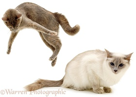 Cat, playfully leaping up