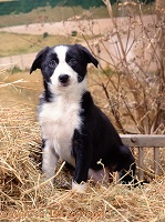 Border Collie puppy sitting in straw