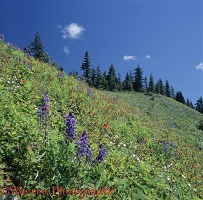 Subalpine flowers at Elk Mountain