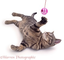 Tabby cat, lying down and batting a ball