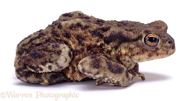 European Common Toad