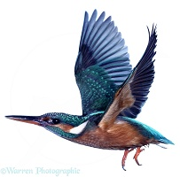 Kingfisher taking off