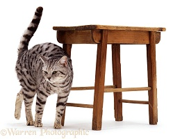 Silver tabby rubbing against stool
