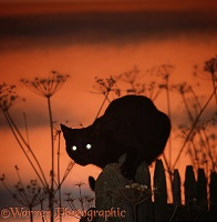 Black Cat eyes at sunset