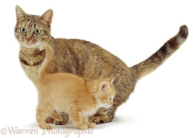 Mother cat with ginger kitten