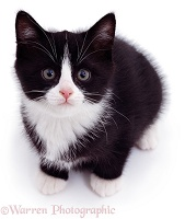 Black-and-white kitten looking up
