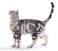 Silver tabby cat standing