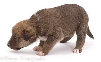 Small brown collie-cross puppy
