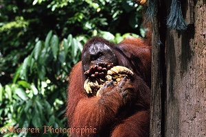 Orang-utan male with bananas