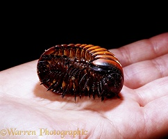 Giant Pill Millipede on hand