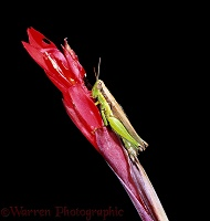 Grasshopper on a red flower