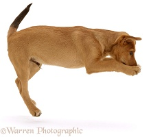 Brown puppy leaping