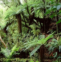 New Zealand forest with tree ferns