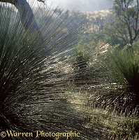 Dew on Grass Tree