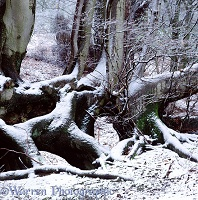 Snow on beeches