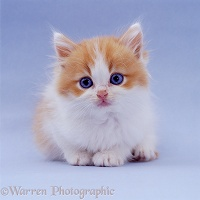 Blue-eyed ginger-and-white kitten on blue background
