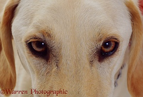 Eyes of Saluki Lurcher dog