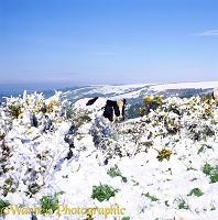 Cow and snowy gorse
