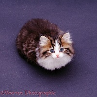 Brown, tabby & white kitten looking up