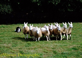 Border Collie rounding sheep