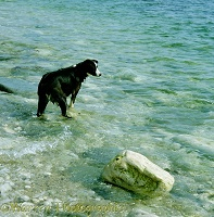 Border Collie bitch standing in the sea
