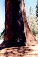 Woman indicating the size of a Giant Sequoia