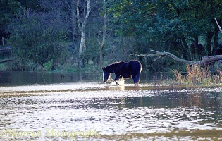 Horse splashing in flooded field
