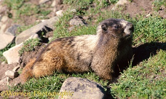Marmot lounging on grass
