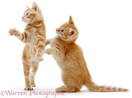 Two ginger kittens standing