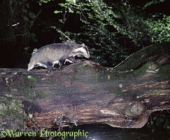 Badger on a log bridge