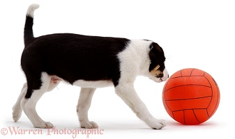 Border Collie pup with orange football