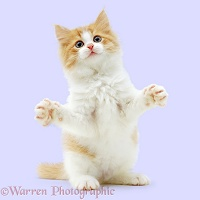 Ginger-and-white kitten reaching out with paws up