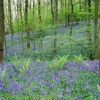 Bluebell woods 3D 3 R