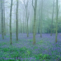 Misty Bluebell woods