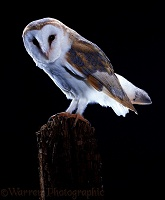 Barn Owl on fencepost